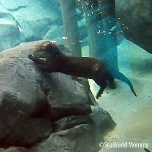 Otter in the Water at Discovery Cove swimming