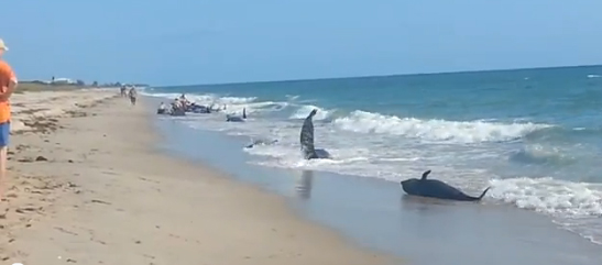 pilot whale stranding at Ft. Pierce