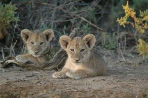 Ewaso Lion Cubs