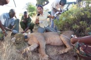 Tag and measure lion Ewaso Lion project