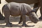 Baby Rhino born at Busch Gardens