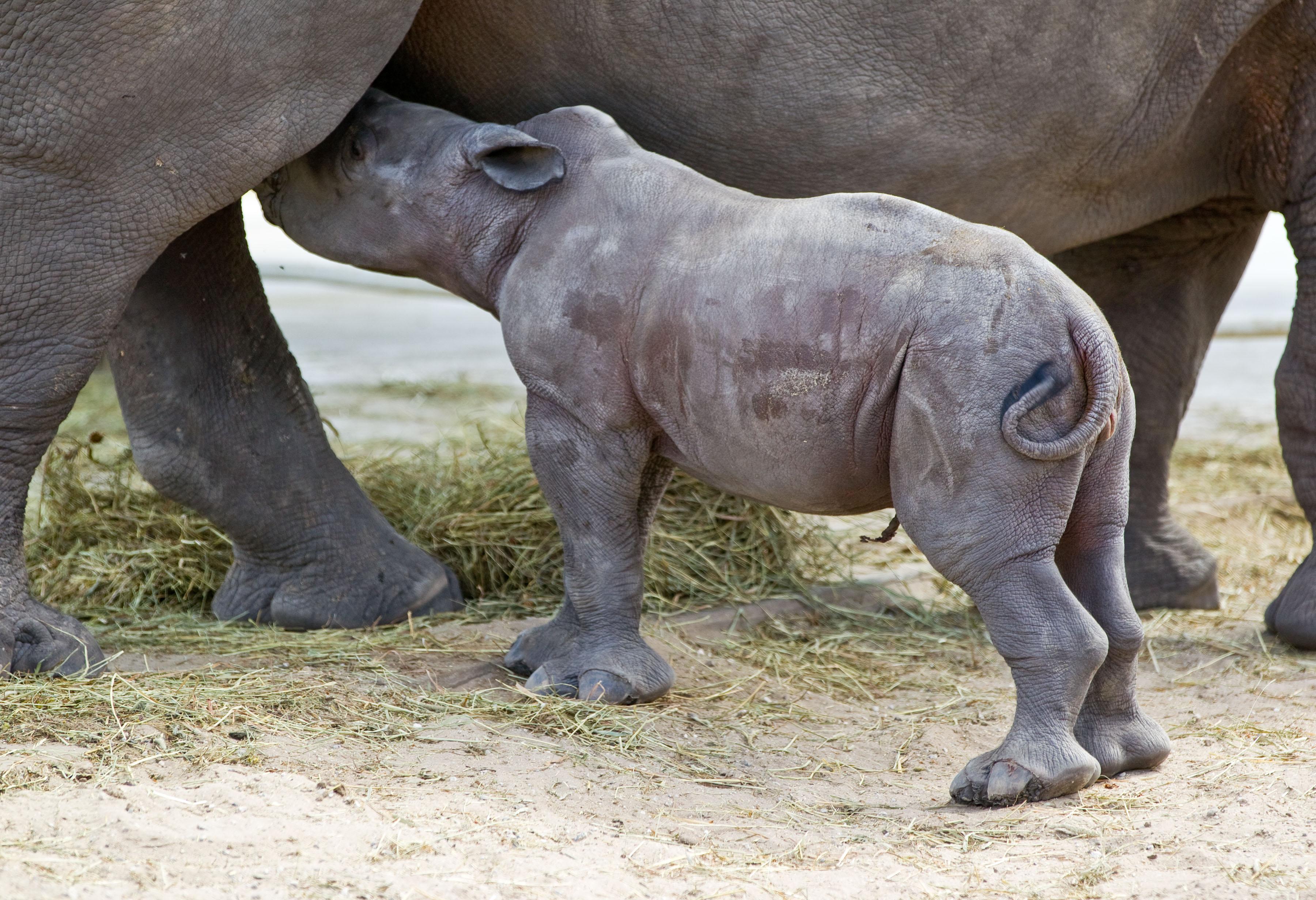 Baby Rhino nurses mother Kisiri