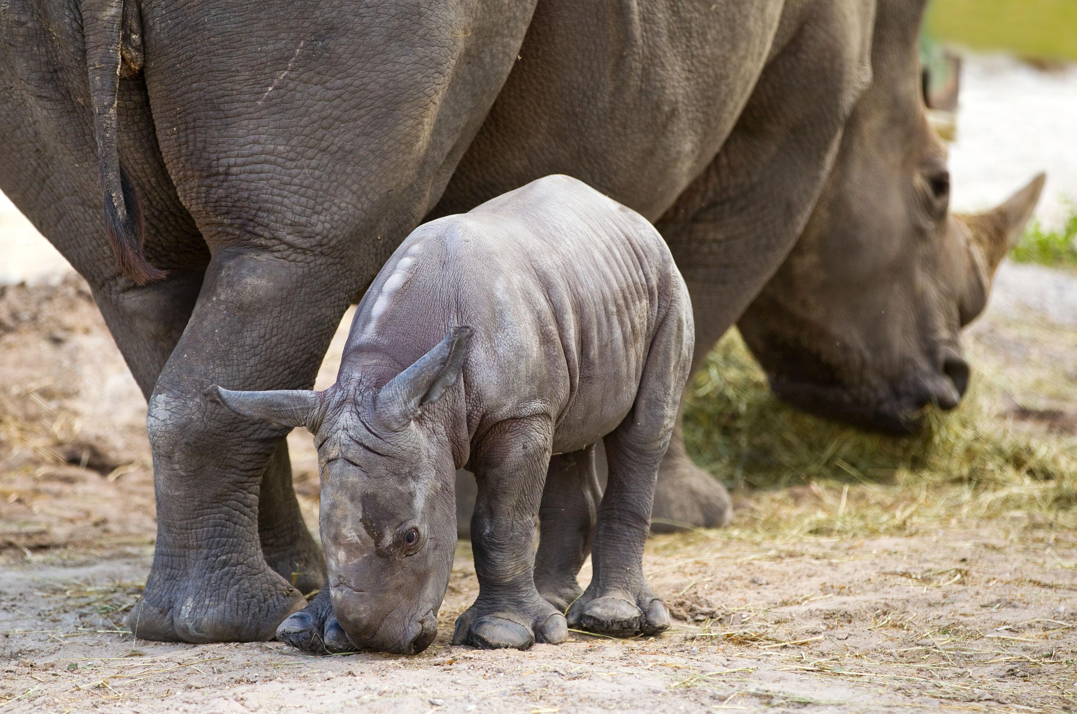 Kirisi the white rhinoceros gave birth to her second calf  a female    Rhinoceros Baby