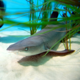 Baby whitetip reef shark at Discovery Cove, SeaWorld's boutique park in Orlando Florida