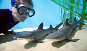 Reef shark pups born July 18, 2013 get a close-up look from a Discovery Cove shark expert.
