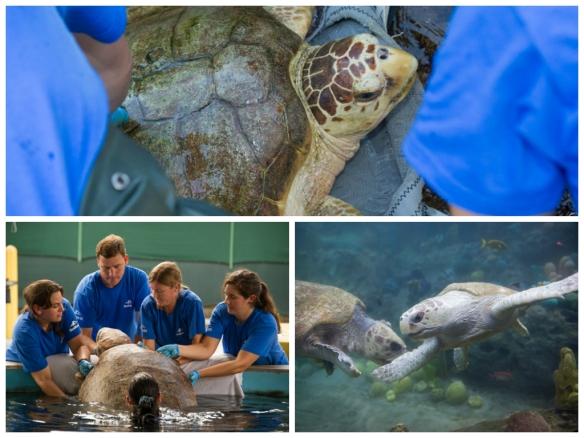 Rehabilitated turtles Big Mama and Caton make it to SeaWorld's TurtleTrek.
