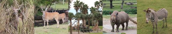 Busch Gardens African Animals giraffe wide sm