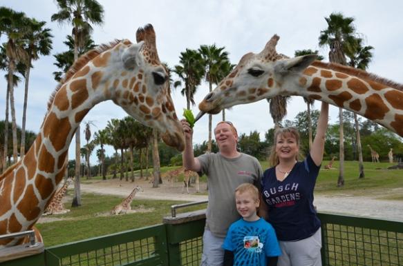 giraffe feeding busch gardens serengeti plain